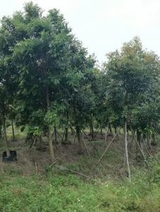绿化苗木批发基地