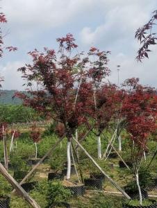 河源日本红枫