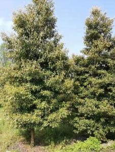 汕头金丝楠木